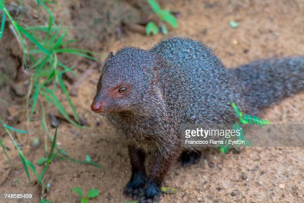 Mongoose On Field At Yala National Park