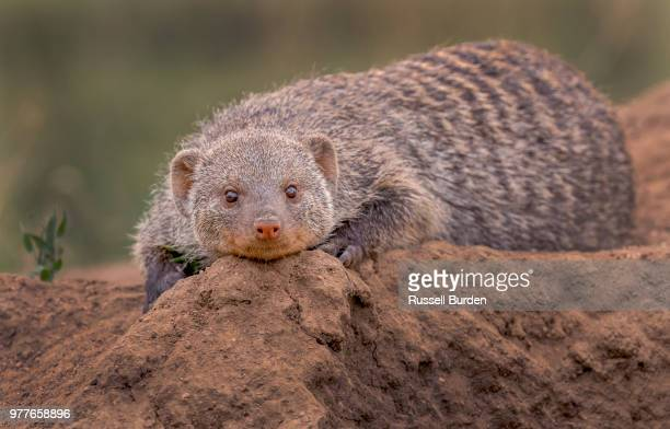 mongoose on termite mound - mongoose stock photos and pictures
