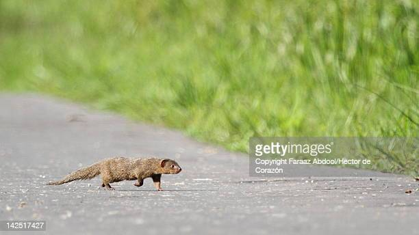 mongoose - mangusta foto e immagini stock