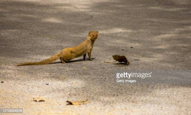 Mongoose searches for food on a deserted road, as India remains under an unprecedented lockdown over the highly contagious coronavirus on April 15,...