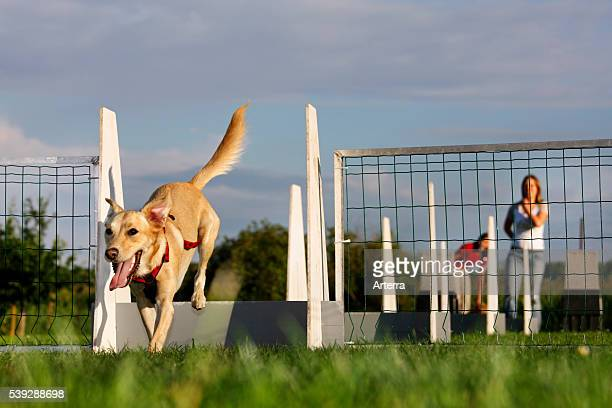 Mongrel jumping over hurdle at obstacle course