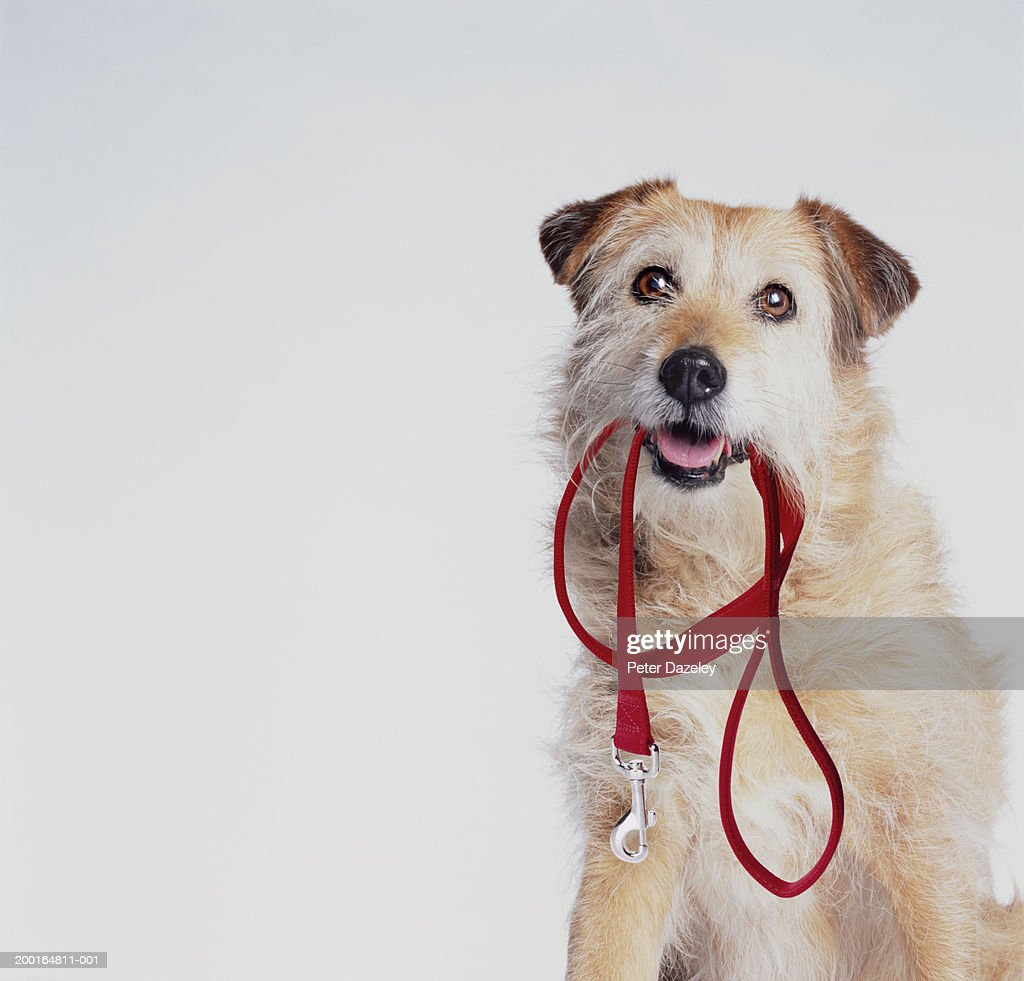 Mongrel with lead in mouth : Stock Photo