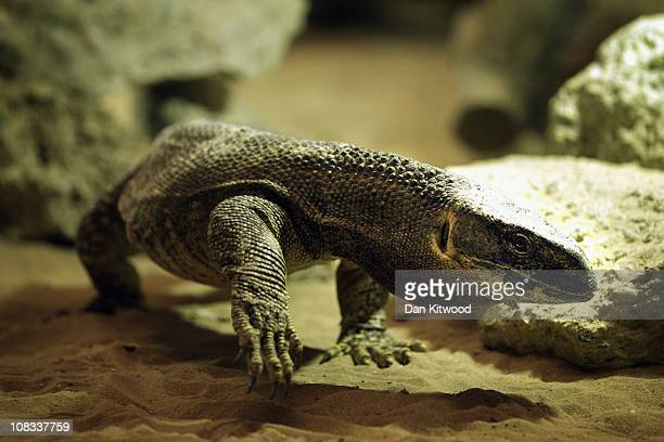 Monitor Lizard is pictured at Heathrow Airport's Animal Reception Centre on January 25 2011 in London England Many animals pass through the centre's...