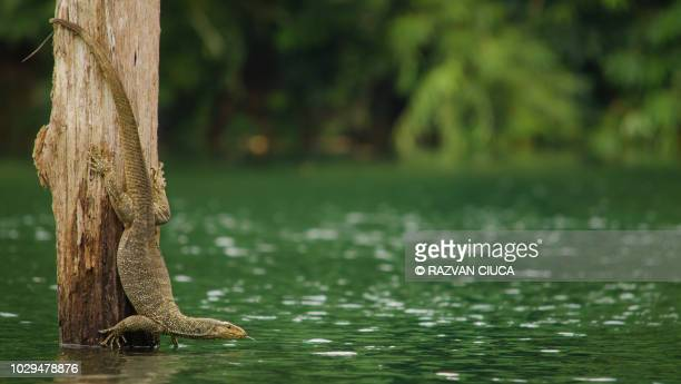 monitor lizard - kao sok national park stock pictures, royalty-free photos & images