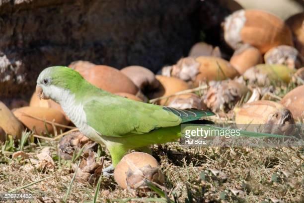Monk Parakeet eating