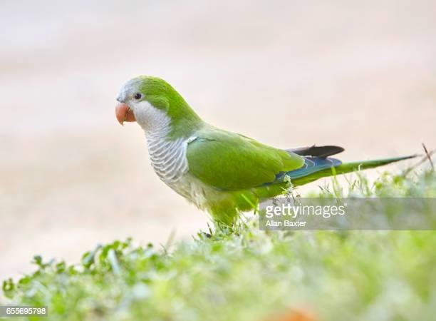 Monk Parakeet (Myiopsitta monachus) in park