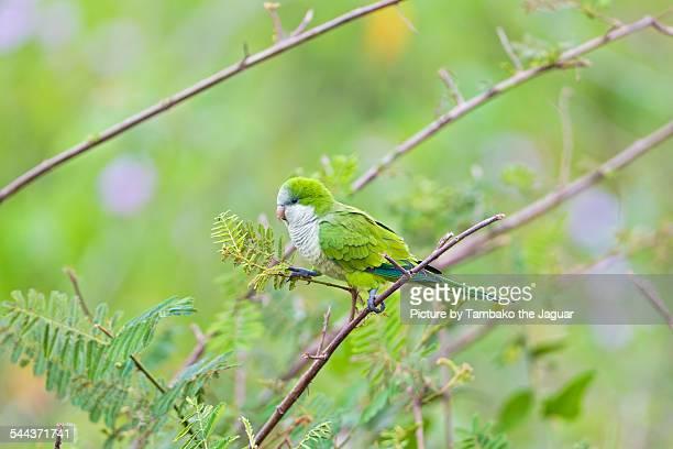 Monk parakeet in the tree