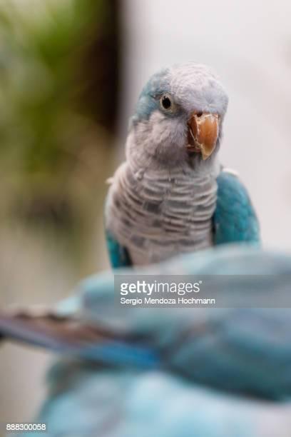 A monk parakeet, or Quaker parrot, in an aviary - Mexico City, Mexico