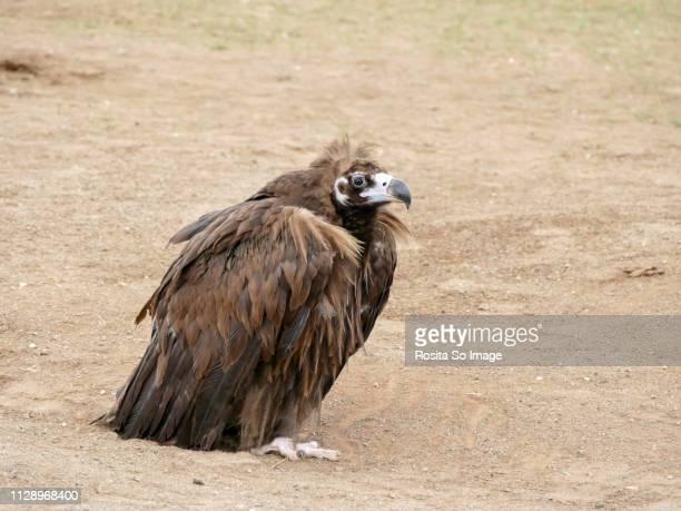 Monk Vulture, cinereous vulture, Aegypius monachus, Mongolia