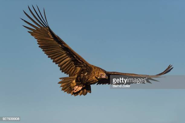 Monk vulture (Aegypius monachus) in flight, Extremadura, Spain