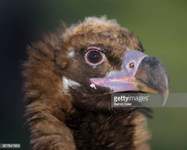Monk vulture (Aegypius monachus), portrait, Extremadura, Spain