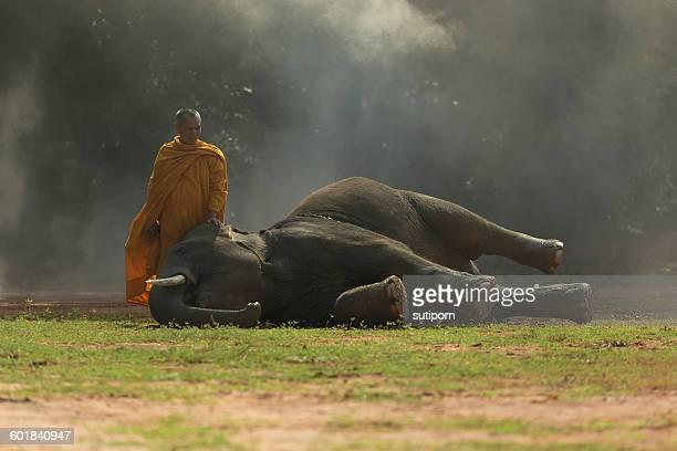 Monk with elephant calf, Surin, Thailand