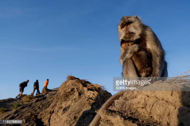 A monkey and her cub are seen near a group of hikers at the summit of Mount Batur in Bali during the sunrise A popular tourist destination Mount...
