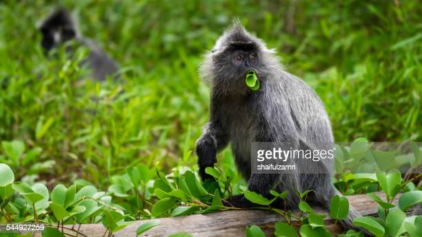 Monkey at Bako National Park of Sarawak