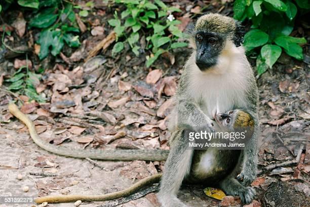Monkey breastfeeding her monkey baby