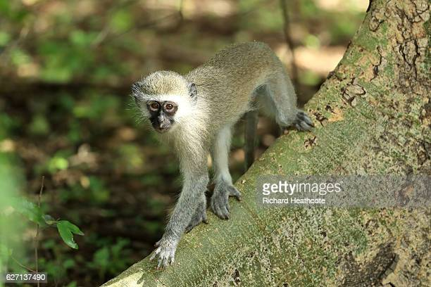 Monkey climbes the trees around the course during the second round of the Alfred Dunhill Championship at Leopard Creek Country Golf Club on December...