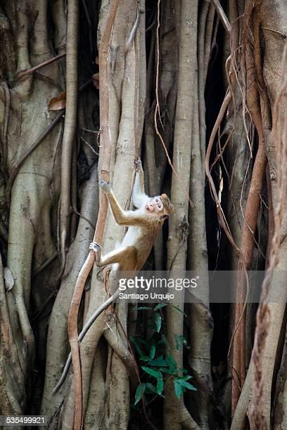 Monkey climbing up a liana