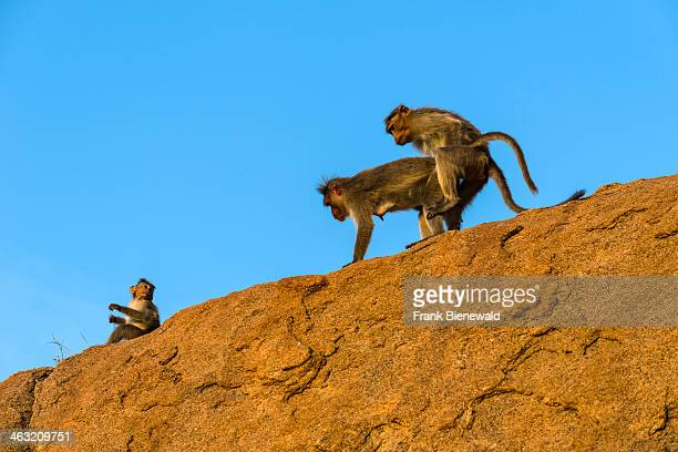 A monkey couple are copulating on a rock in the ruins of the former Vijayanagara Empire
