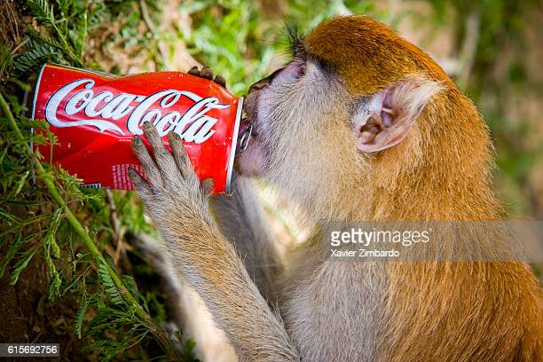 Monkey drinking a CocaCola can side view on June 4 2007 at SaintLouis Senegal