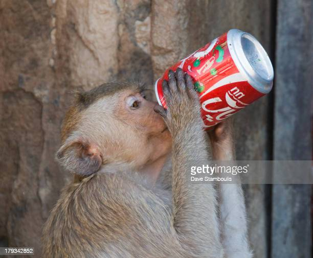 CONTENT] monkey drinking a Coke at the Monkey Banquet Festival in Lopburi Thailand