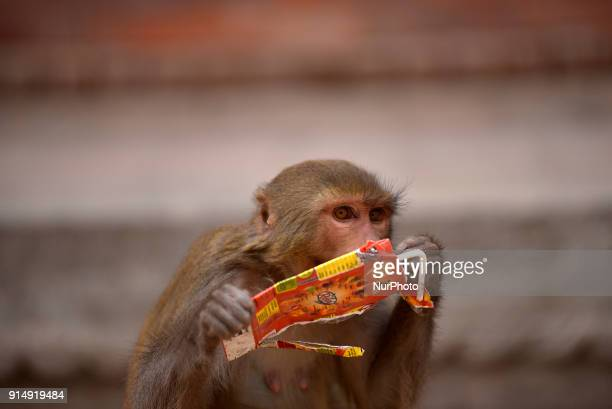 A Monkey drinking remaining juice from the juice pouch at the premises of Pashupatinath Temple Kathmandu Nepal on Tuesday February 06 2018
