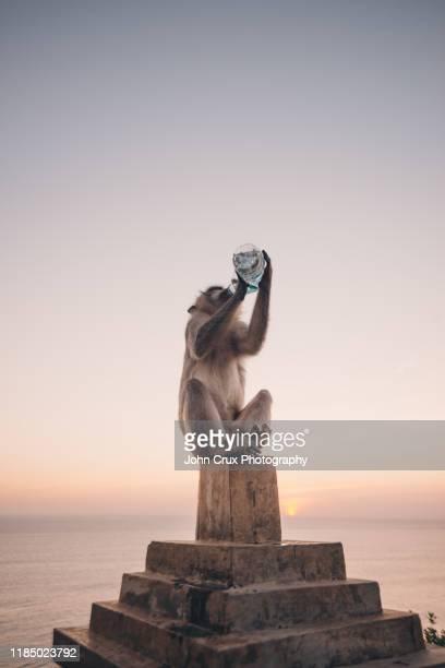 monkey drinking water - マカク属 ストックフォトと画像