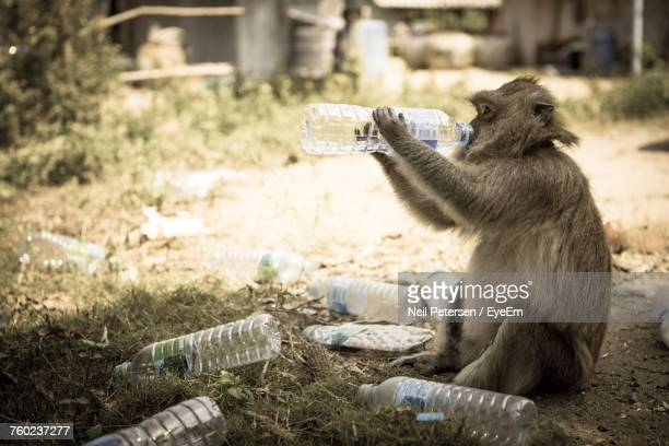 Monkey Drinking Water While Sitting On Field