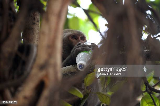 A monkey drinks a beverage as he sits on a tree on a hot summer day in the old quarters of New Delhi on April 26 2018