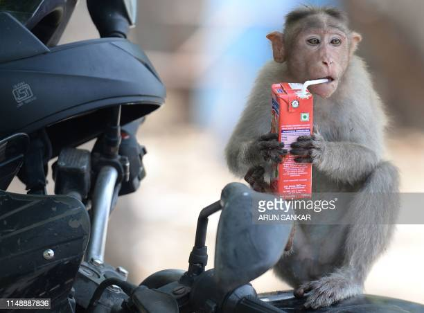A monkey drinks a juice box on a hot summer day at Guindy Children's Park in Chennai on June 10 2019