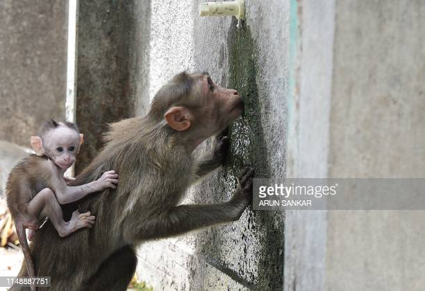 A monkey drinks water from a tap on a hot summer day at Guindy Children's Park in Chennai on June 10 2019
