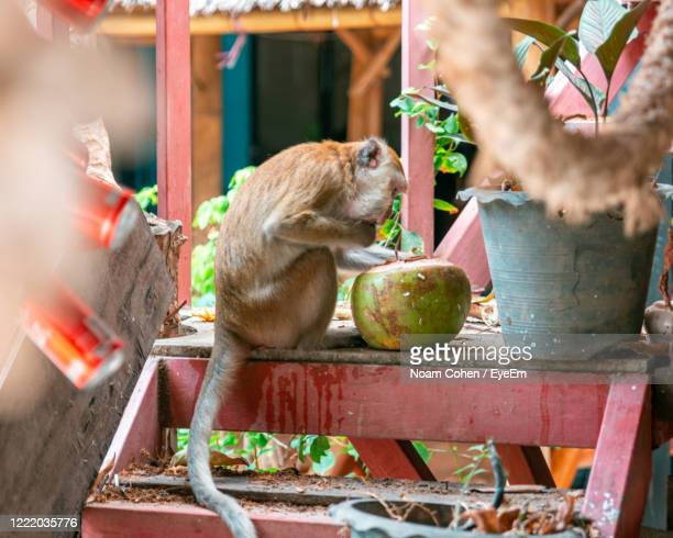 monkey eat from coconut - noam cohen stock pictures, royalty-free photos & images