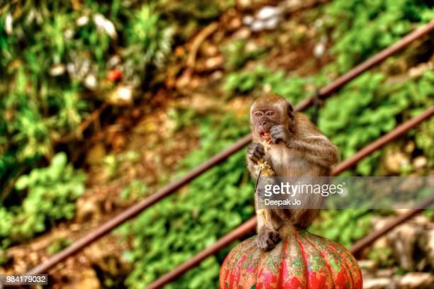 monkey eating a flower in batu caves/malaysia - jo wilder stock-fotos und bilder