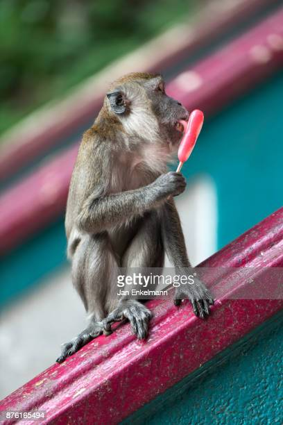 Monkey eating an ice lolly
