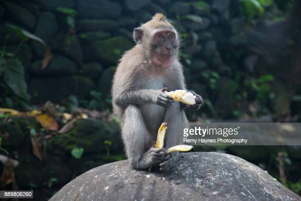 Monkey Eating Banana in The Monkey Forest in Bali, Indonesia