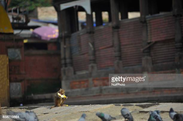 A Monkey eating Banana offered by a priest at the premises of Pashupatinath Temple Kathmandu Nepal on Thursday August 24 2017