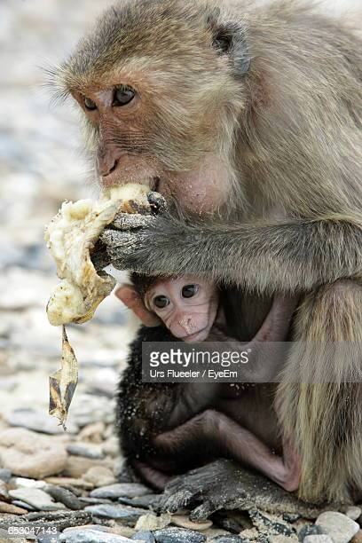 Monkey Eating Banana While Carrying Young One Outdoors