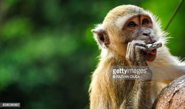 monkey eating battery - ugly monkey stock photos and pictures