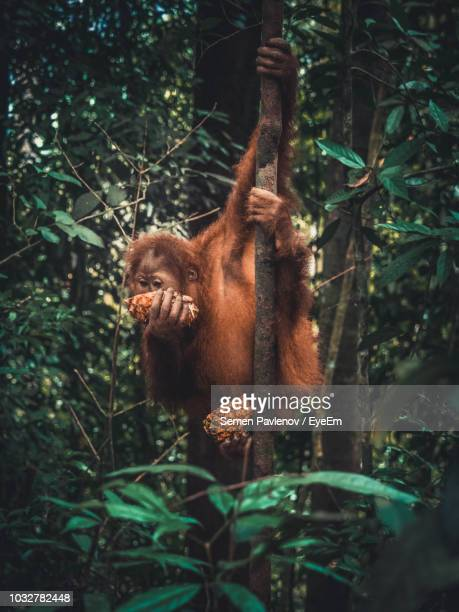 monkey eating fruit in forest - orang outan photos et images de collection
