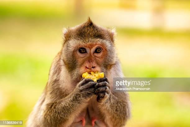 Monkey eating fruit.