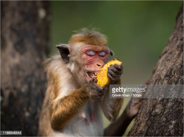 monkey eating mango - mammal stock pictures, royalty-free photos & images