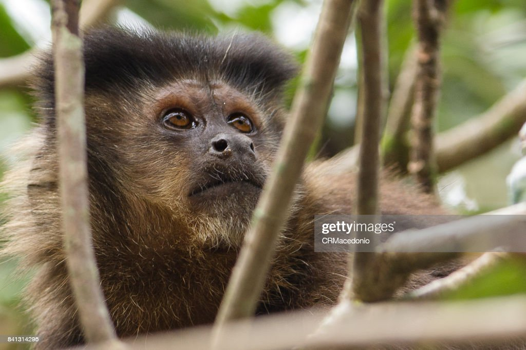 Monkey eating plums amidst the branches. : Stock Photo
