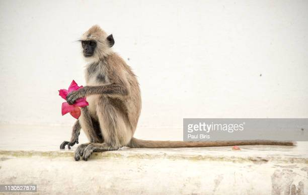 monkey eating the offerings, monkey prepared for valentine's day, mihintale temple, sri lanka - mihintale stock pictures, royalty-free photos & images