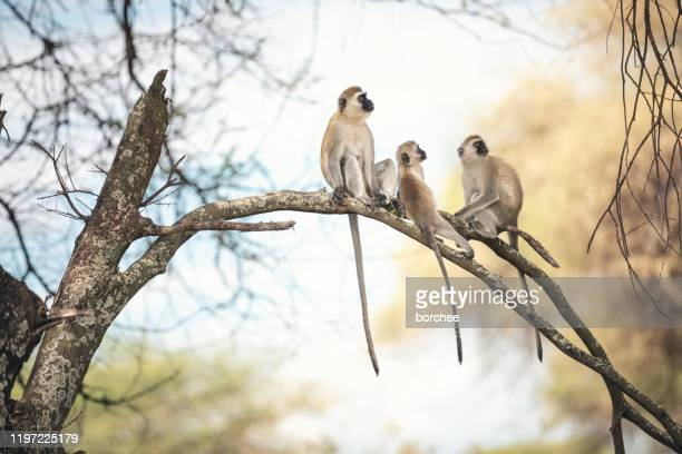 monkey family - baboon stock pictures, royalty-free photos & images