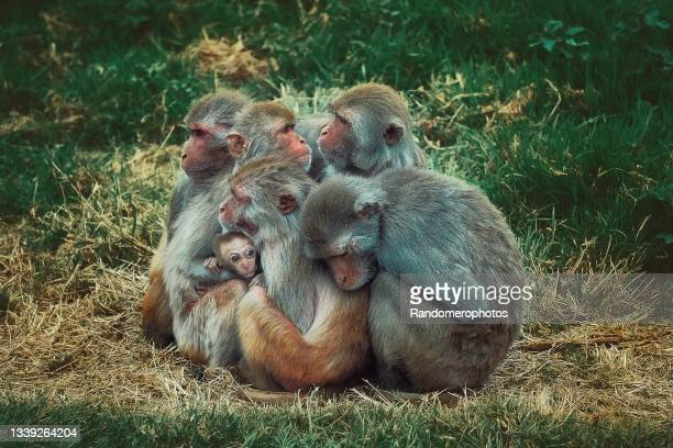 monkey family - young animal stock pictures, royalty-free photos & images