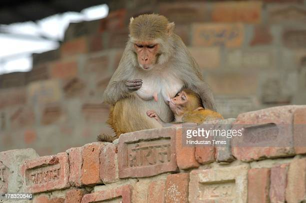 Monkey feeds its baby at a workshop where preparations for constructing Ram Mandir going even though the case of the disputed land is in the Supreme...