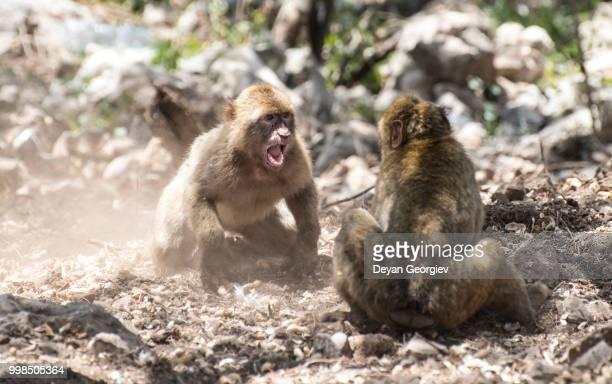 monkey fight - バーバリーマカク ストックフォトと画像