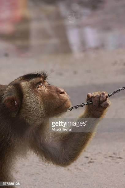 monkey for coconut - マカク属 ストックフォトと画像