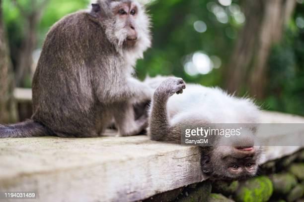 monkey grooming, monkey forest, ubud, bali, indonesia - massage funny stock pictures, royalty-free photos & images