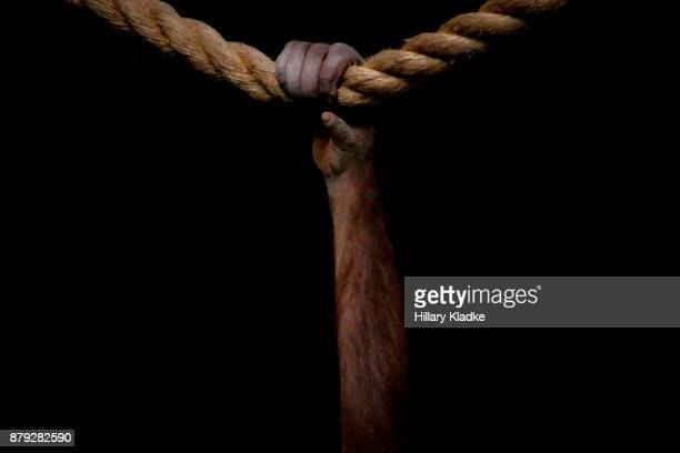 monkey hand gripping rope - gorilla hand stock photos and pictures