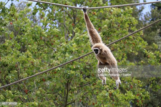 monkey hanging from rope in forest - 猿 ストックフォトと画像